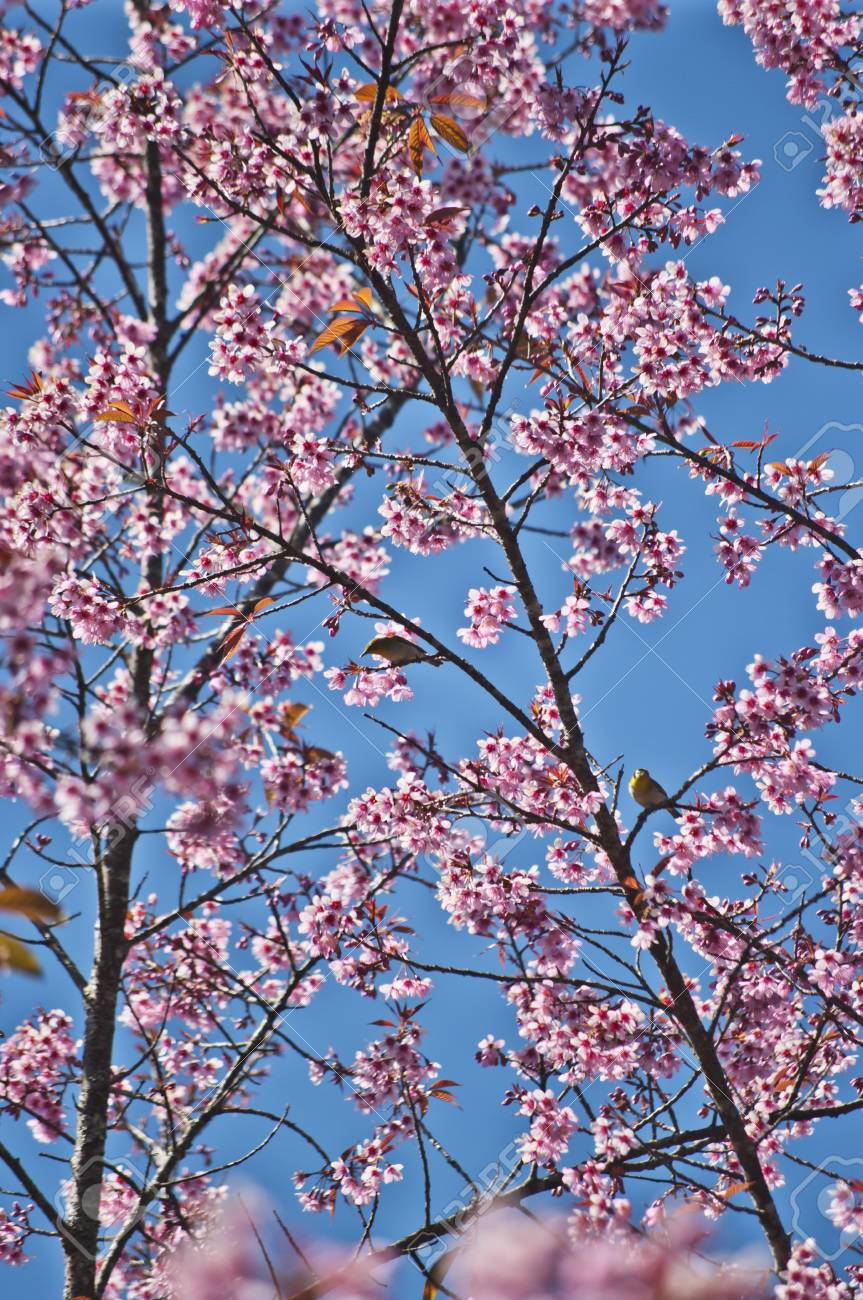 Superb Pink Cherry Blossom with Blue Sky Background Stock Photo - 24971528