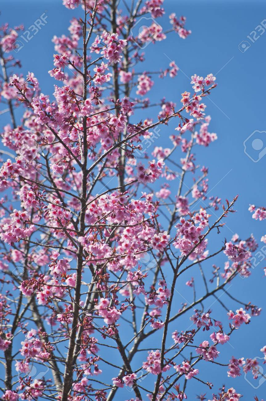 Superb Pink Cherry Blossom with Blue Sky Background Stock Photo - 24972469