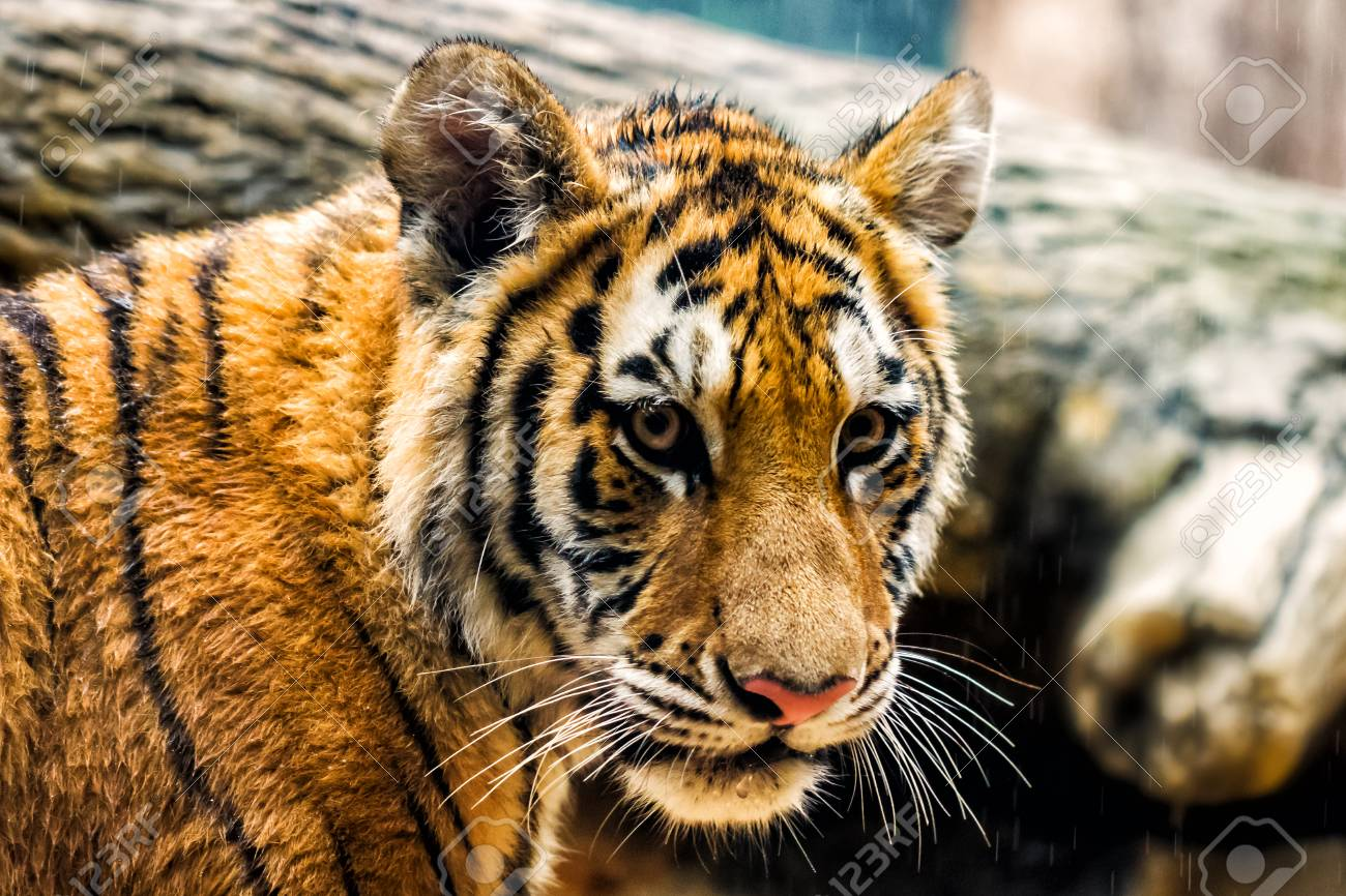 Cute tiger cub standing under a light shower of water stock photo cute tiger cub standing under a light shower of water stock photo 88100730 altavistaventures Images