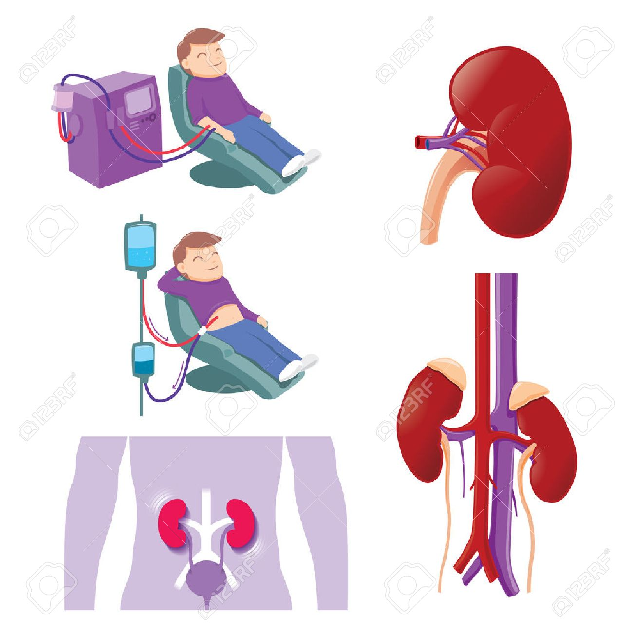 Kidney Stock Photos Royalty Free Kidney Images
