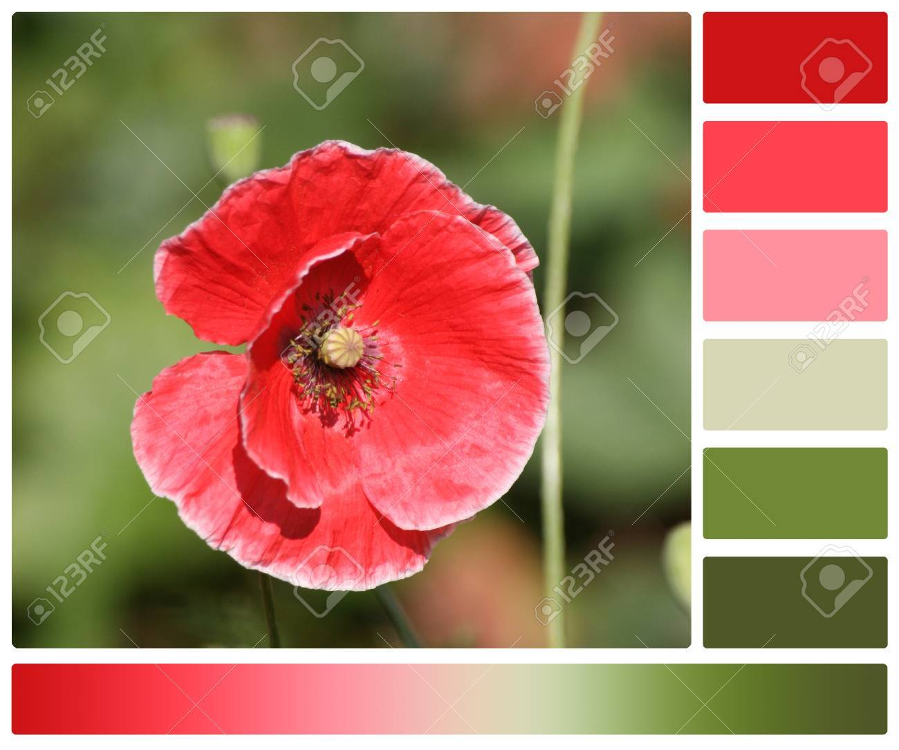 Red Poppy Flower. Palette With Complimentary Color Swatches Stock ...