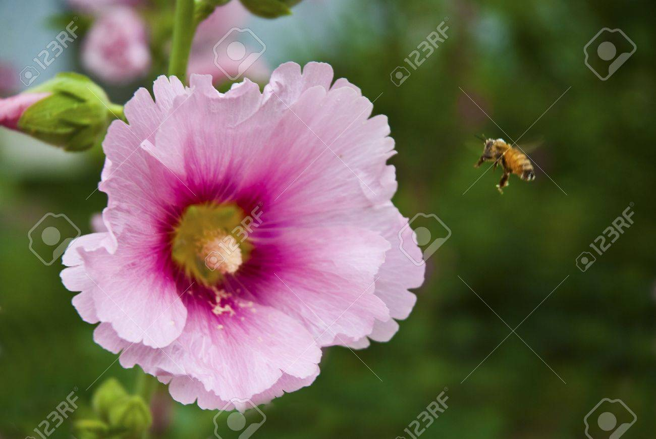 A bee in a large beautiful flowers bloom coming Stock Photo - 7366627