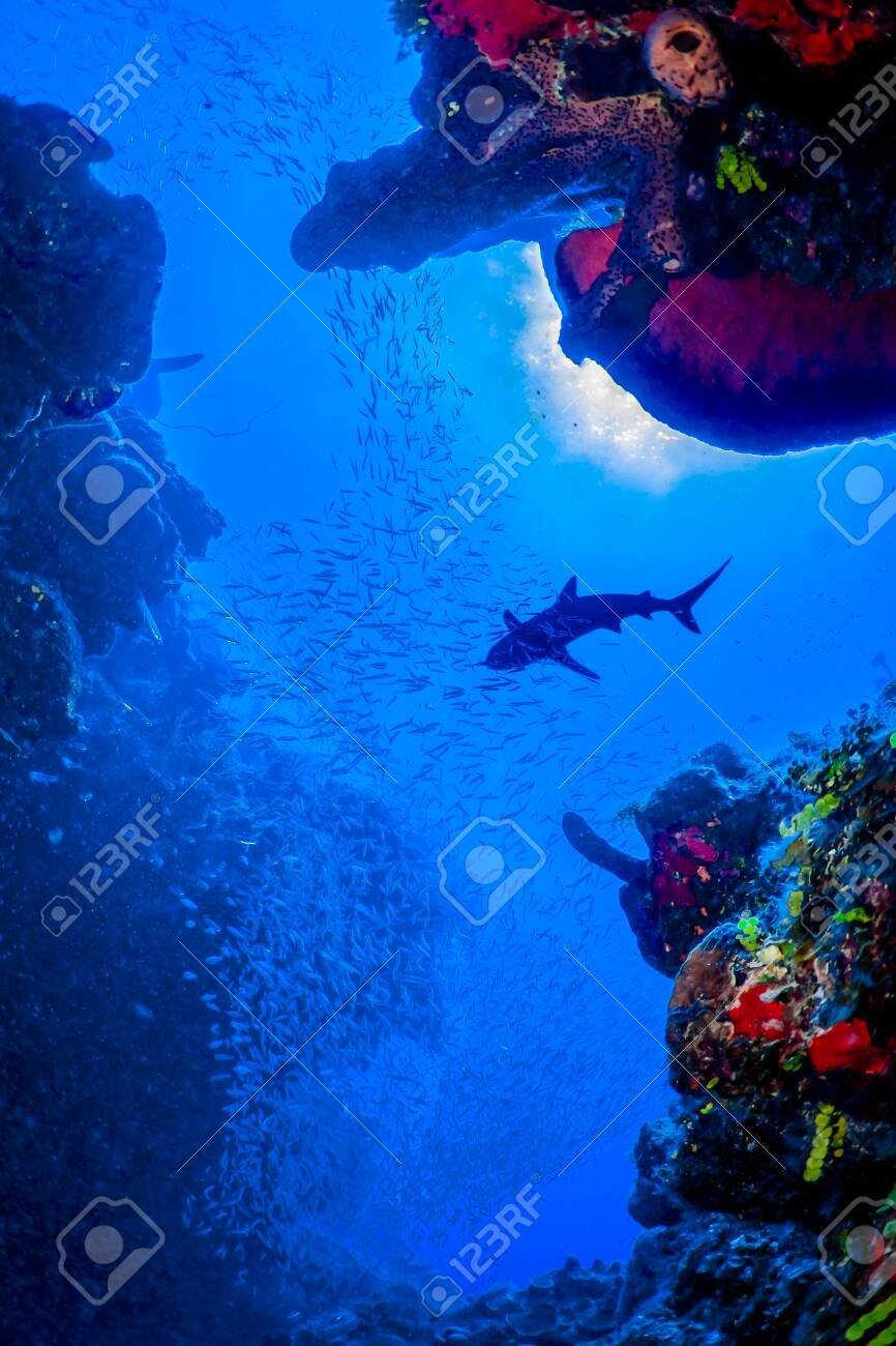 Caribbean Reef Sharks on the prowl for a meal amongst the colorful reefs of the Turks and Caicos Islands. - 131680463