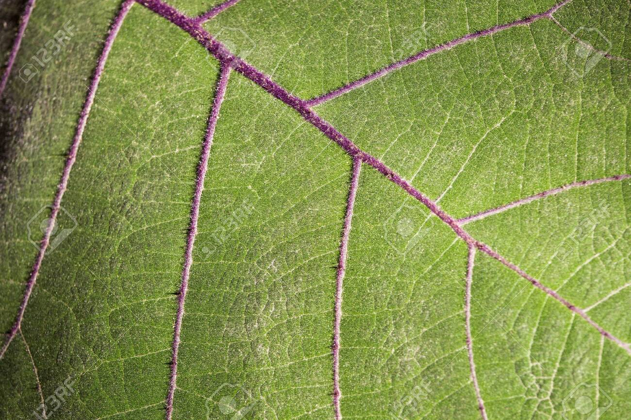 Solanum quitoense - Leaf of the lulo fruit plant - 139333657