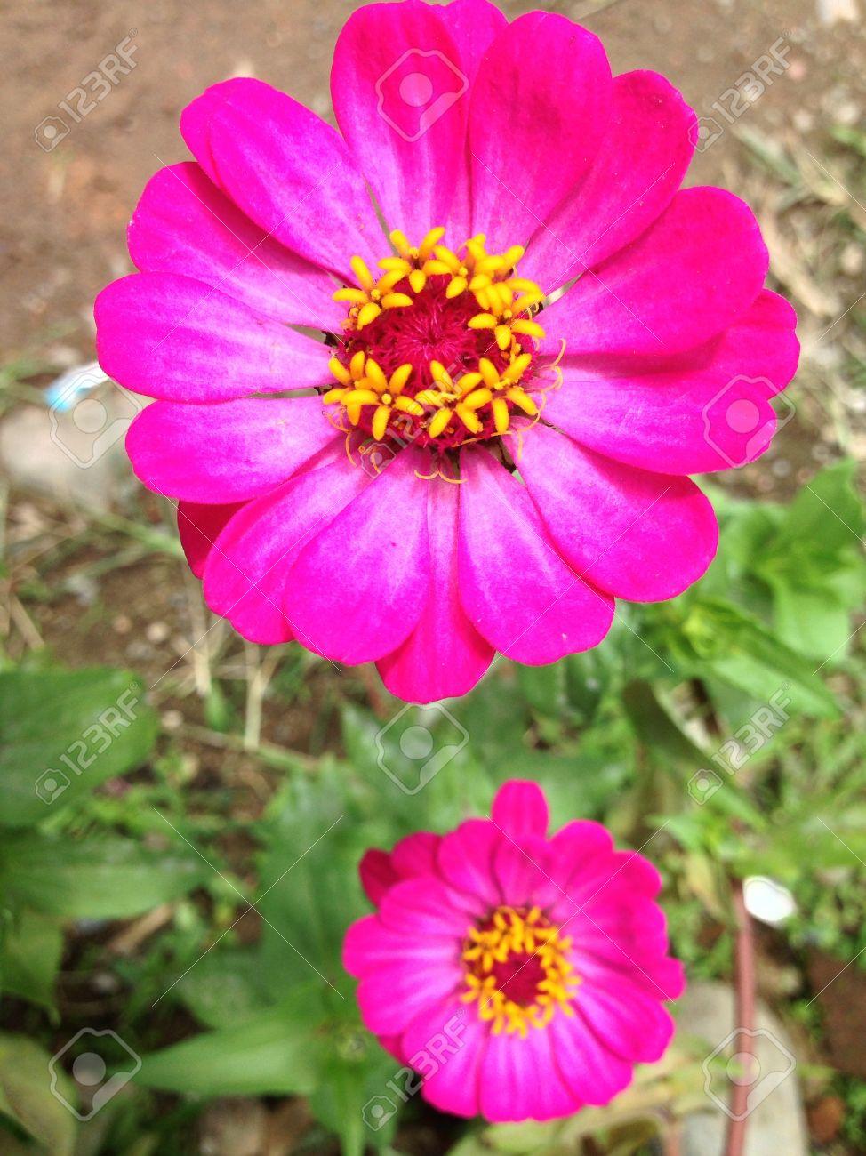 belle fleur rose et jaune banque d'images et photos libres de