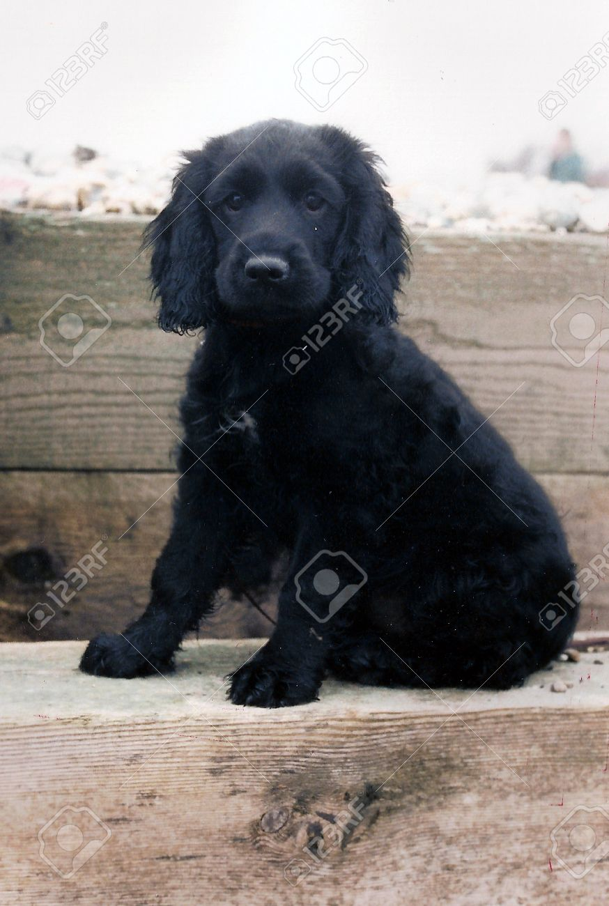 Black spaniel puppy, cute adorable puppy, a black spaniel (springer/cocker