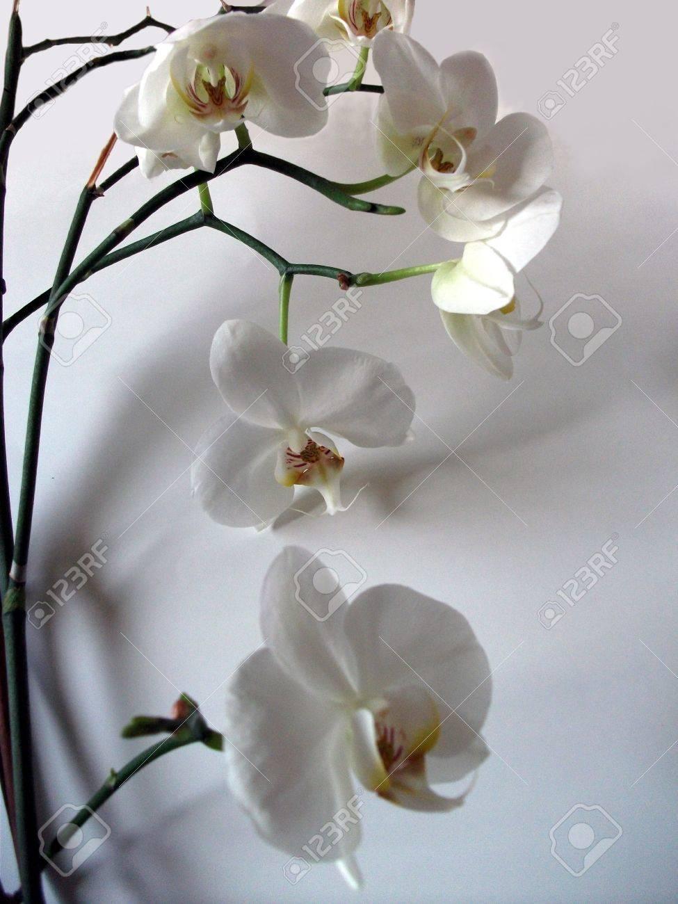 Fleurs Blanches D Orchidees D Un Ecran De Grande Belle Forme De Fleur D Orchidee Blanche Et Les Tiges Avec Leurs Ombres Sur Un Fond Gris Un Superbe