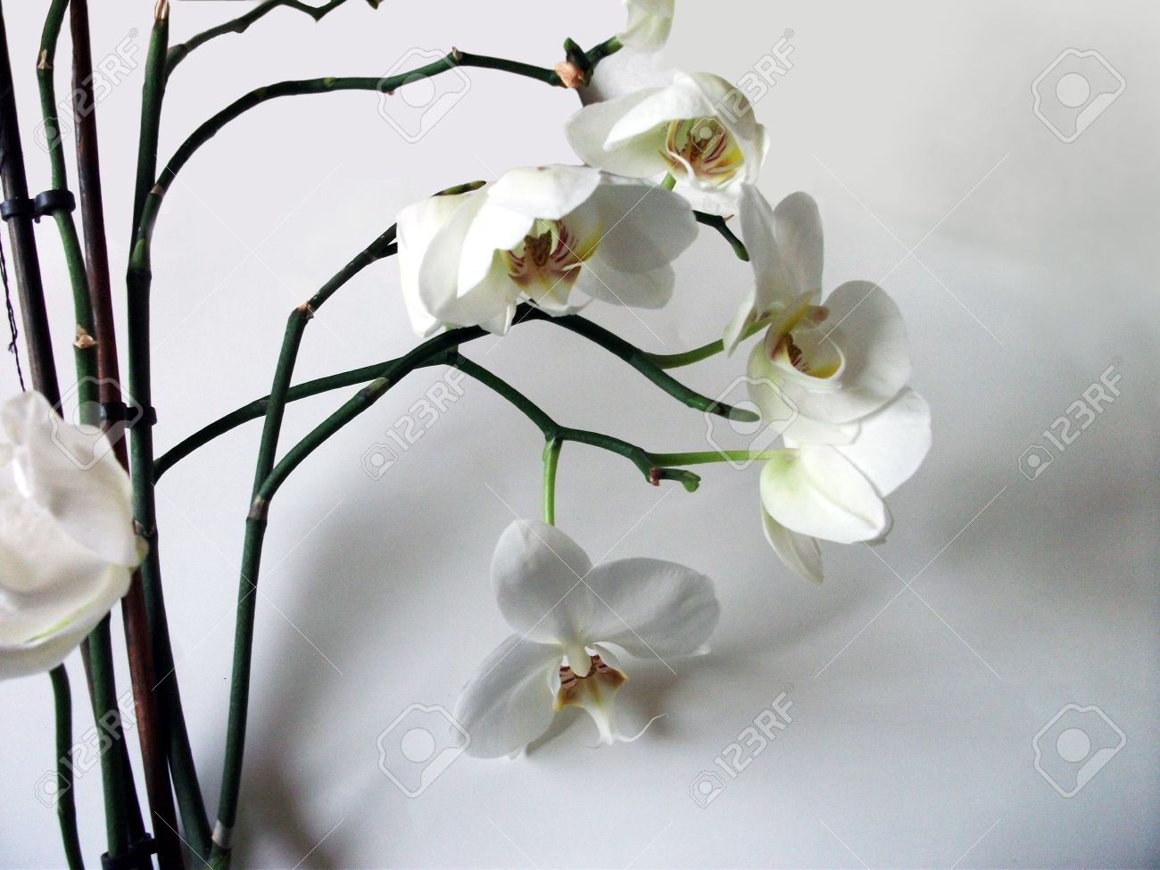 White Orchid Flowers 3 A Beautifully Shaped Display Of Large