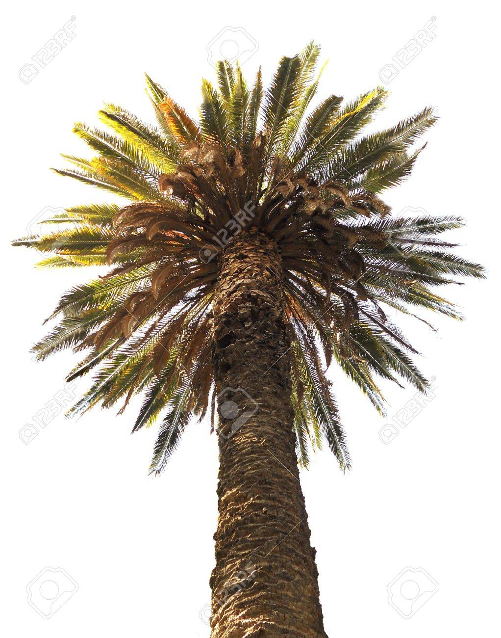 palm tree, top of a palm tree against white background,  cut-out, clipped Stock Photo - 14809616