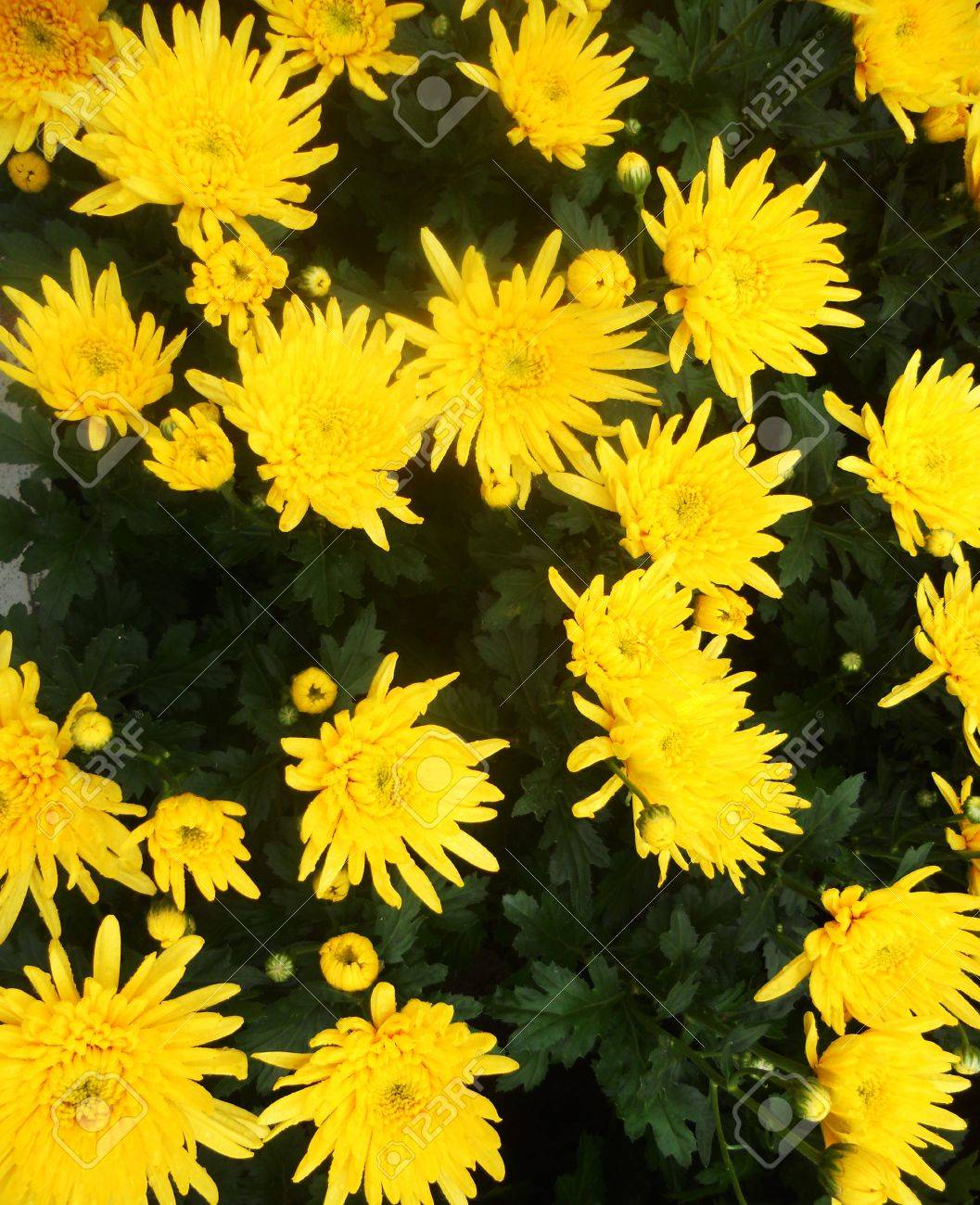 Yellow flowers bright yellow daisy type flowers with dark green yellow flowers bright yellow daisy type flowers with dark green foliage stock photo 17931659 dhlflorist Images
