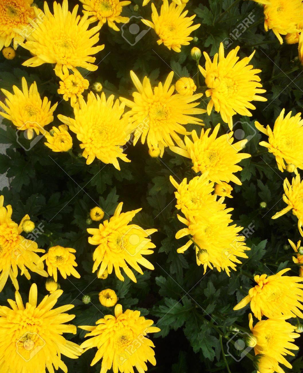 Yellow Flowers Bright Yellow Daisy Type Flowers With Dark Green