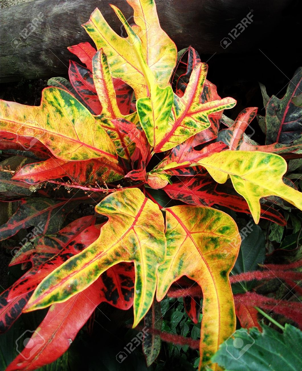 Red And Yellow Plant Red Green And Yellow Leaves Of A Tropical Stock Photo Picture And Royalty Free Image Image 21218702