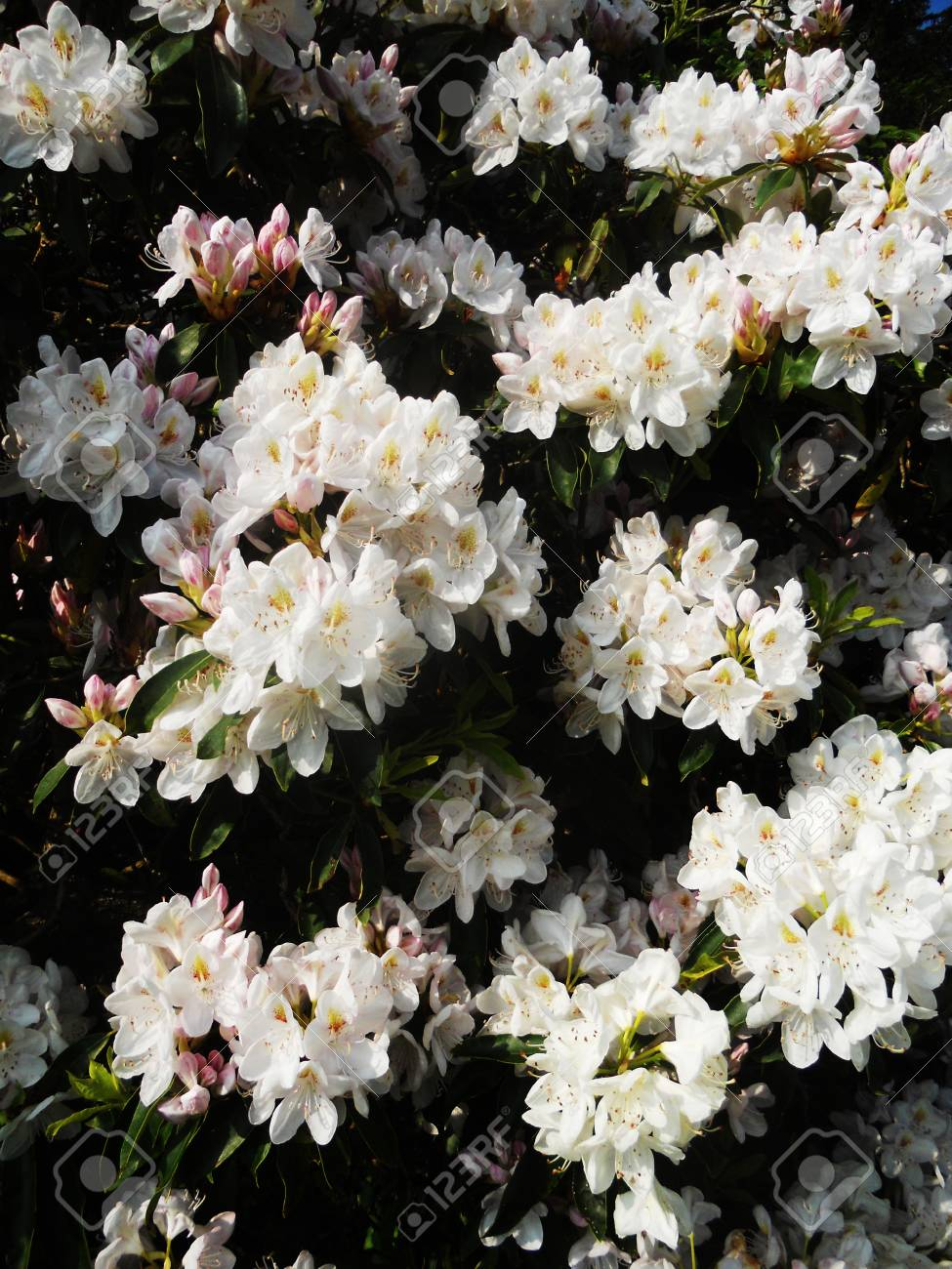 White Flowering Bush In The Sun Stock Photo Picture And Royalty