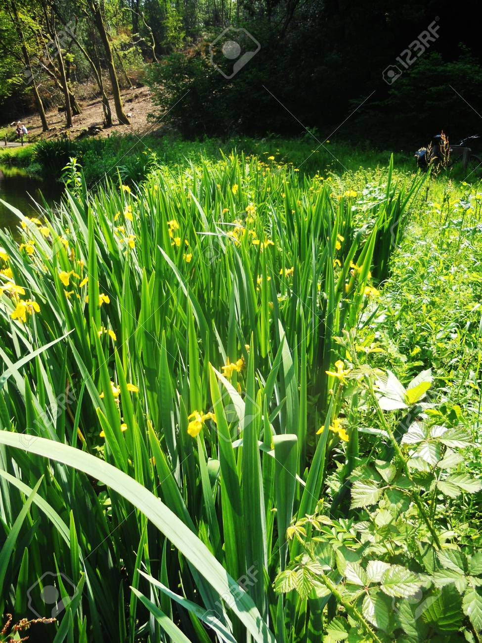 Yellow Irises Growing Near A Pond Surrey Uk Stock Photo Picture