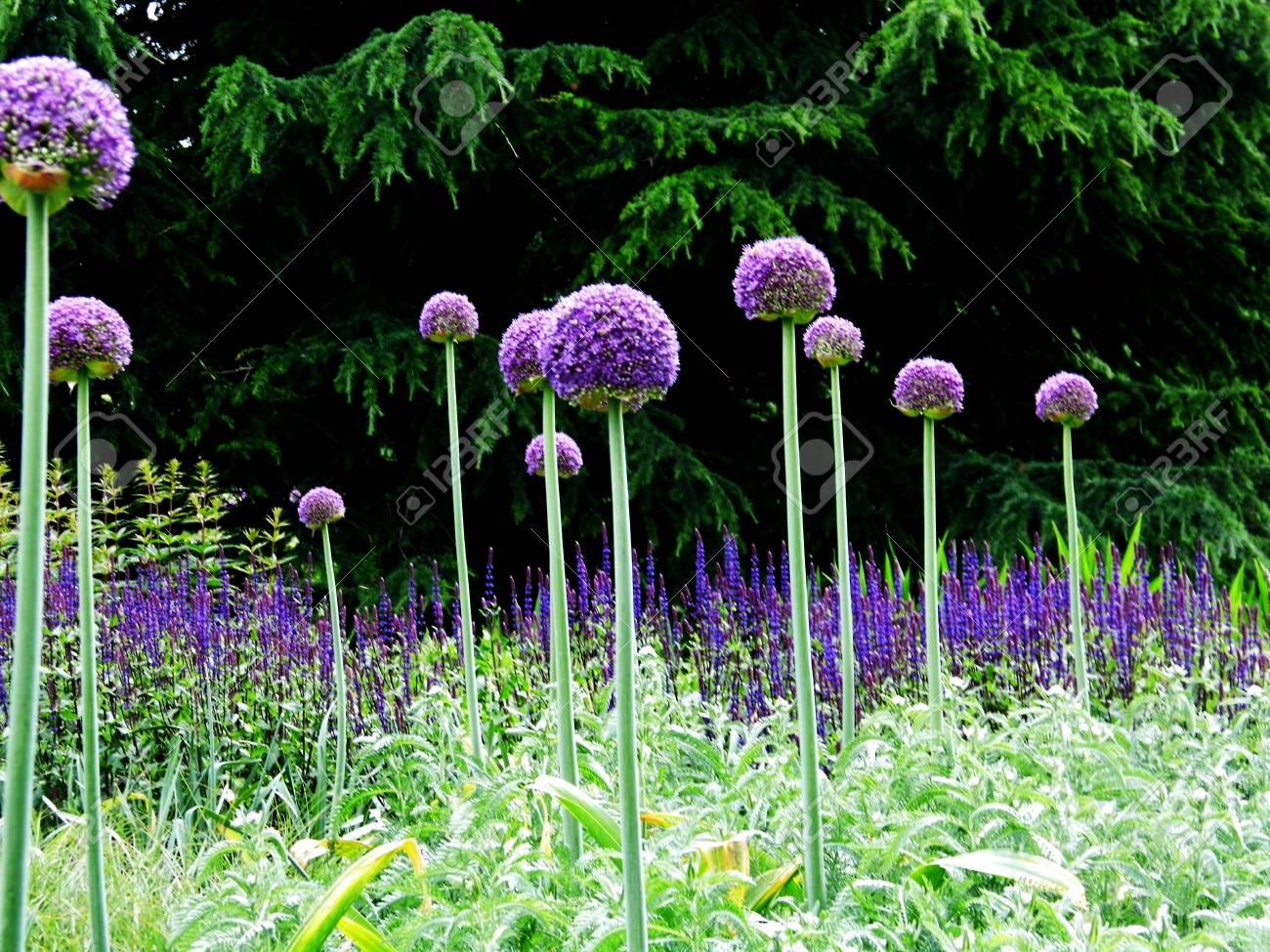 Many Purple Allium Flowers In An Ornamental Garden Border. Stock Photo    92526823