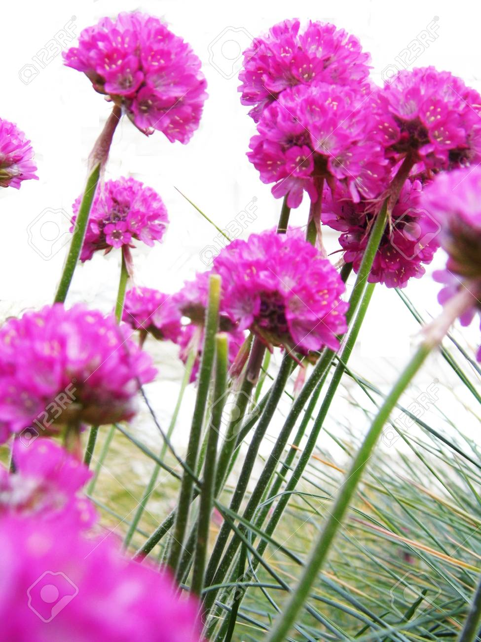 Several pink allium flowers in a garden border stock photo picture several pink allium flowers in a garden border stock photo 92526649 mightylinksfo Image collections