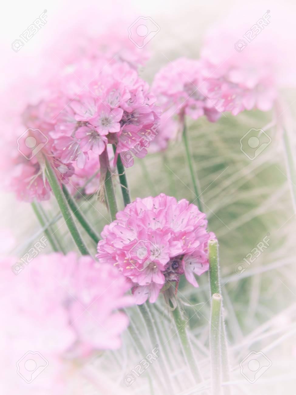 Several pink allium flowers in a garden border pale blur vignette several pink allium flowers in a garden border pale blur vignette delicate flower image mightylinksfo