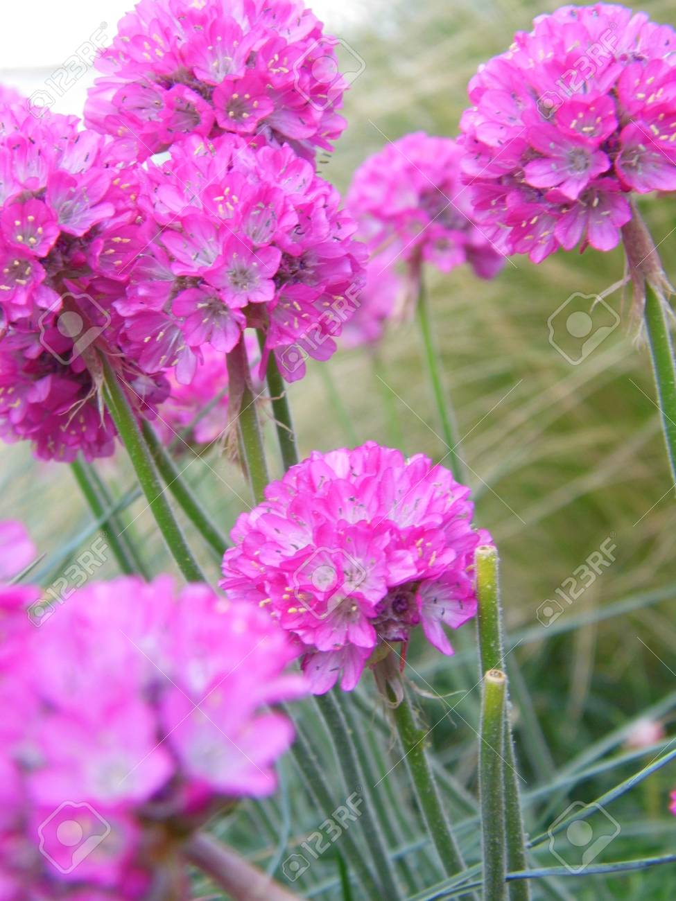 Several pink allium flowers in a garden border stock photo picture several pink allium flowers in a garden border stock photo 92540474 mightylinksfo Image collections