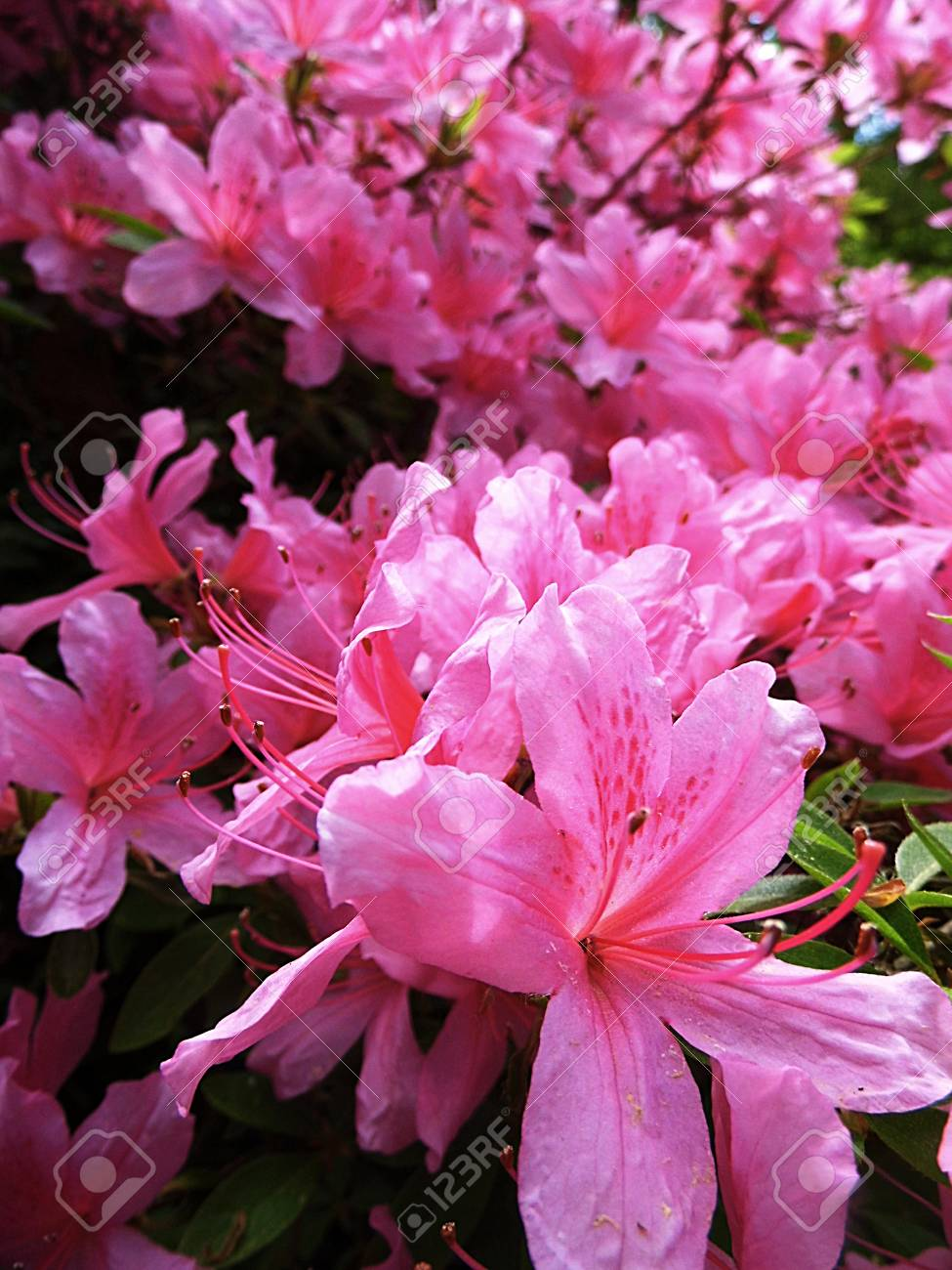 Many Pink Azalea Flowers Growing In England Stock Photo Picture