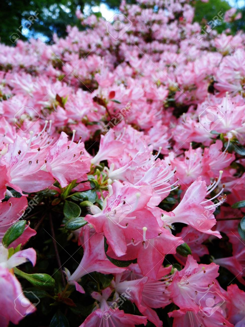 Pink Azalea Flowers In Spring England Stock Photo Picture And