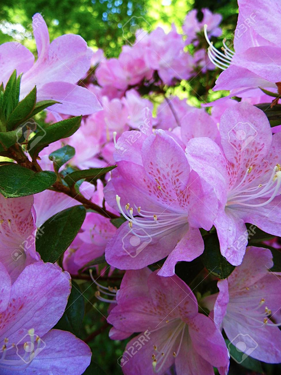 Purple Azelea Flowers In Spring Uk Stock Photo Picture And