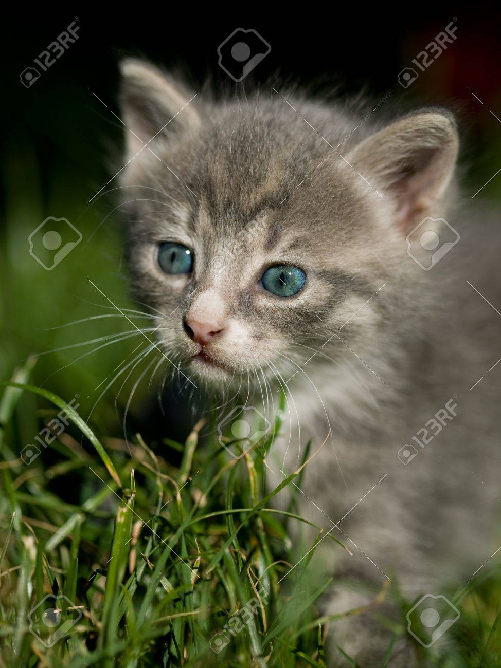 Cute Little Grey Cat With Blue Eyes Stock Picture And