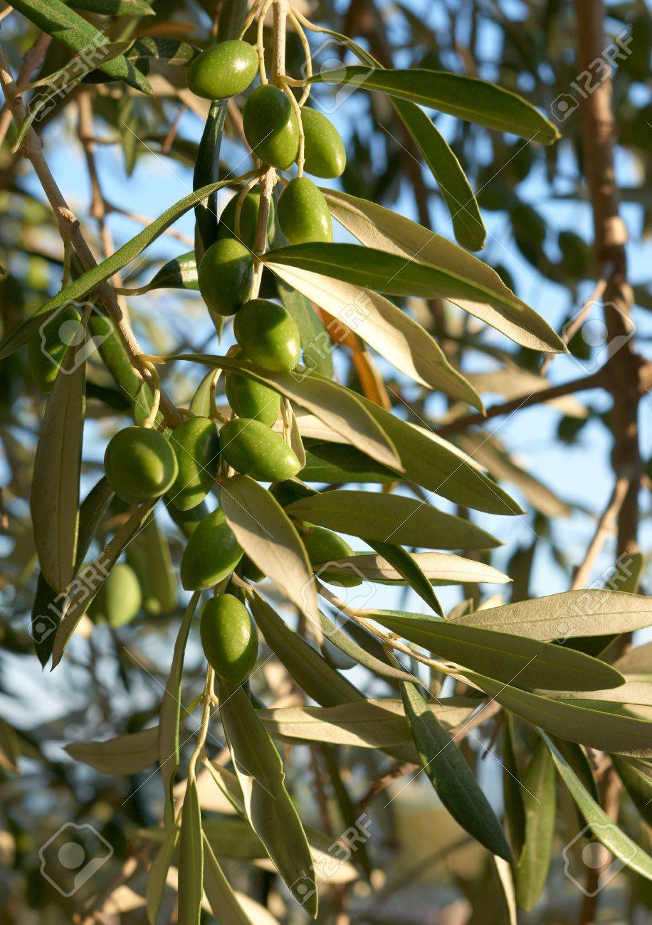 Green Olive Fruits And Leaves On Olive Tree From South France Stock