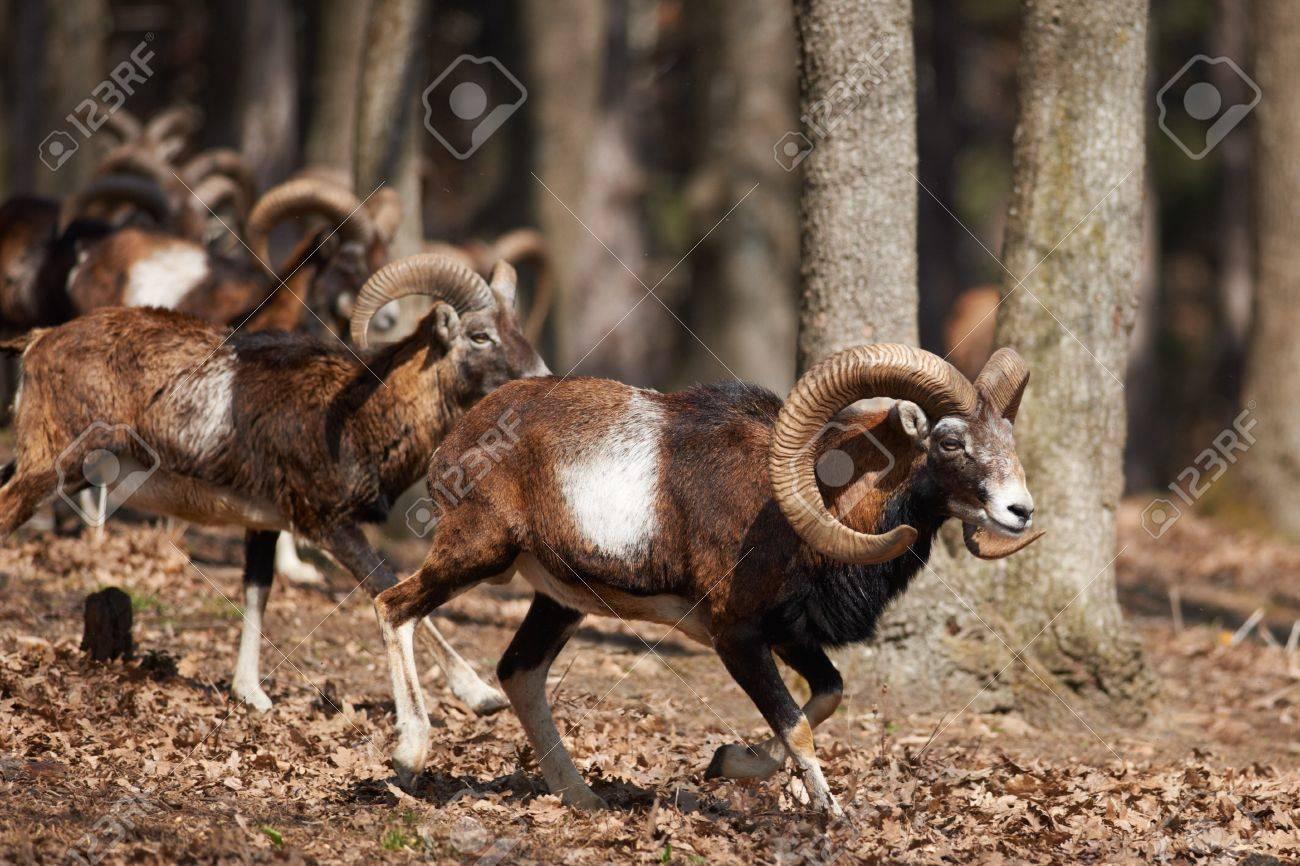 Male European mouflons in oak forest Stock Photo - 18432672