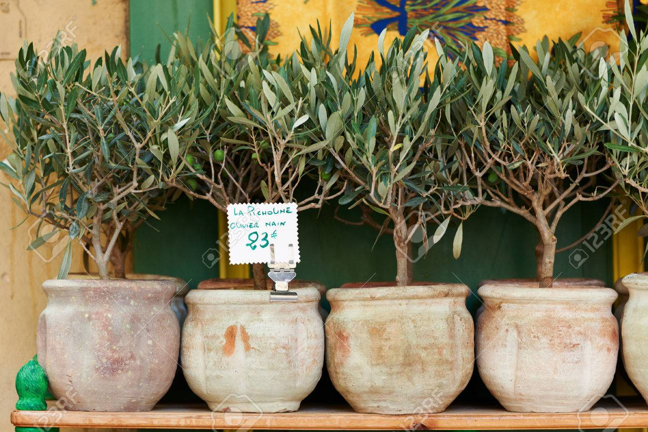 Small olive trees in pots, bonsai plants for sale in Provence,