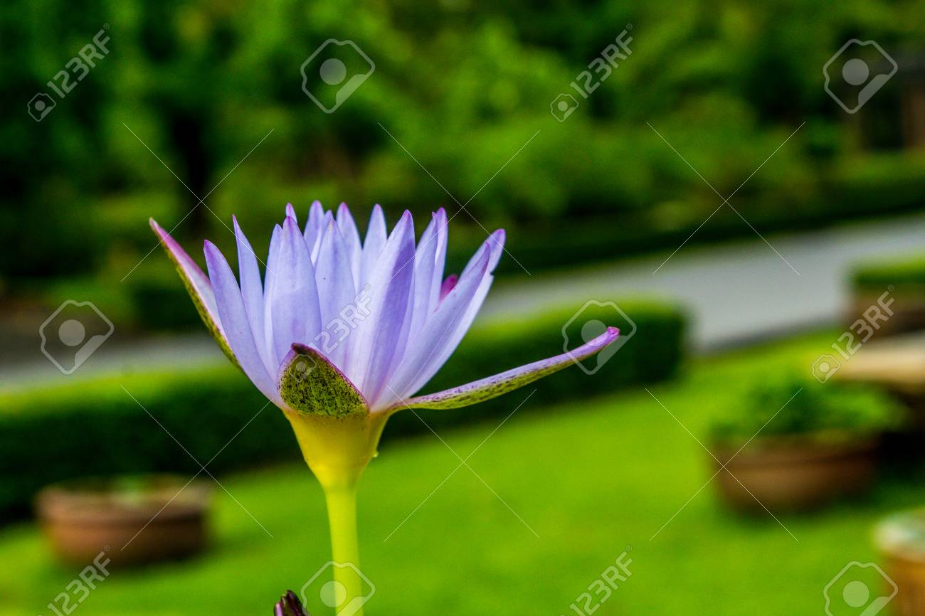 This beautiful waterlily or lotus flower is complimented by the stock photo this beautiful waterlily or lotus flower is complimented by the rich colors of the deep blue water surface izmirmasajfo
