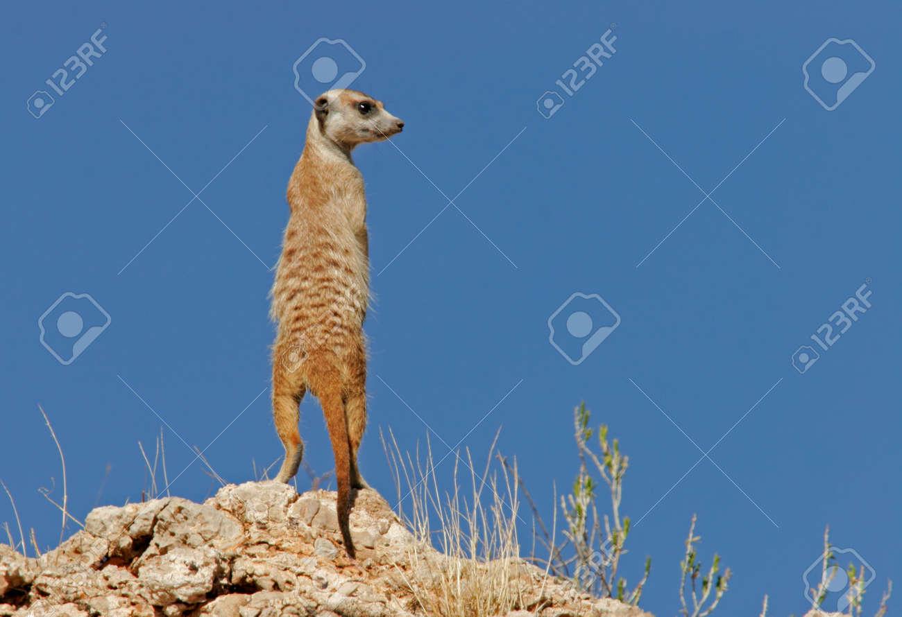 Alert suricate or meerkat (Suricata suricatta) on the lookout, Kalahari, South Africa Stock Photo - 628687