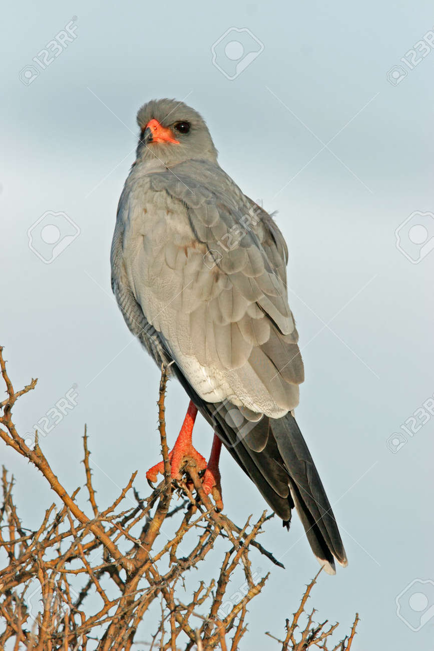 Pale Chanting goshawk (Melierax canorus), Etosha National Park, Namibia Stock Photo - 693730