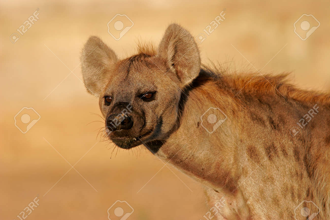 Portrait of a spotted hyena (Crocuta crocuta), Kalahari, South Africa Stock Photo - 1439240