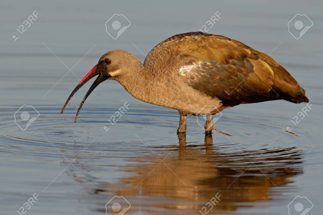 Hadeda Ibis (Bostrychia hagedash) standing in water, Kruger National Park, South Africa Stock Photo - 1584203