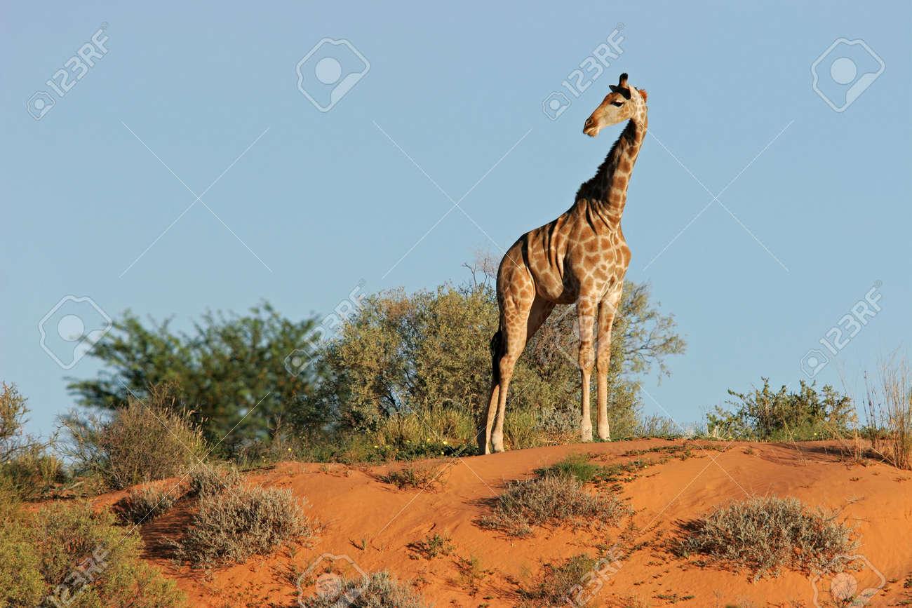A giraffe (Giraffa camelopardalis) on a sand dune in the semi-desert Kalahari, South Africa Stock Photo - 1931010