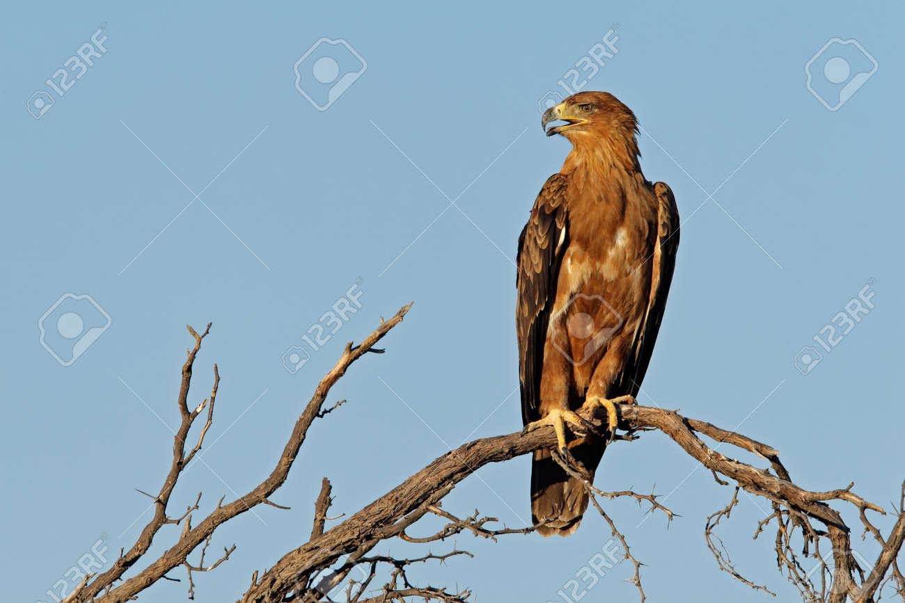 Tawny eagle (Aquila rapax) perched on a branch, Kalahari, South Africa Stock Photo - 2375188