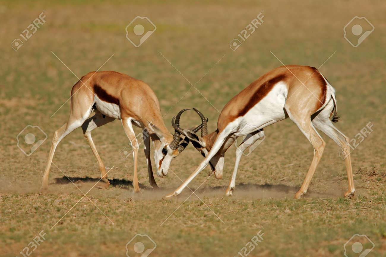 Two male springbok antelopes (Antidorcas marsupialis) fighting for territory, Kalahari desert, South Africa Stock Photo - 3118017