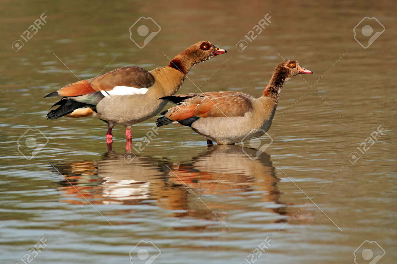 A pair of Egyptian geese (Alopochen aegyptiacus) standing in water, Kruger National Park, South Africa Stock Photo - 3498376