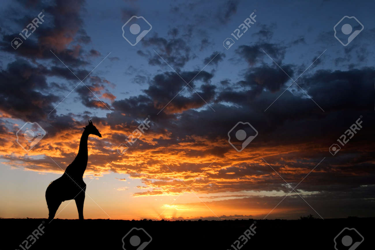 A giraffe silhouetted against a dramatic sunset with clouds, Kalahari desert, South Africa Stock Photo - 3521510