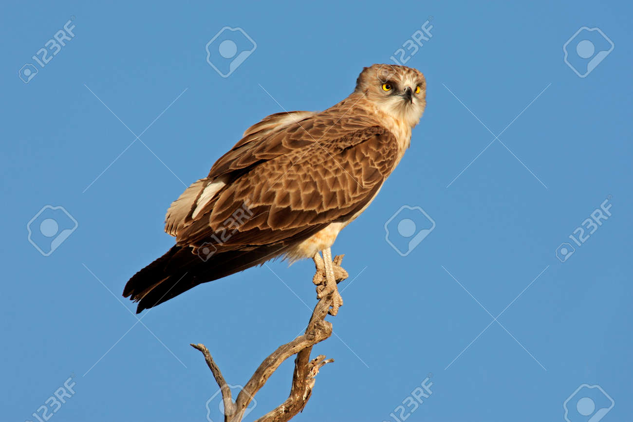 An immature black-breasted snake eagle (Circaetus gallicus) perched on a branch, Kalahari, South Africa Stock Photo - 3892161