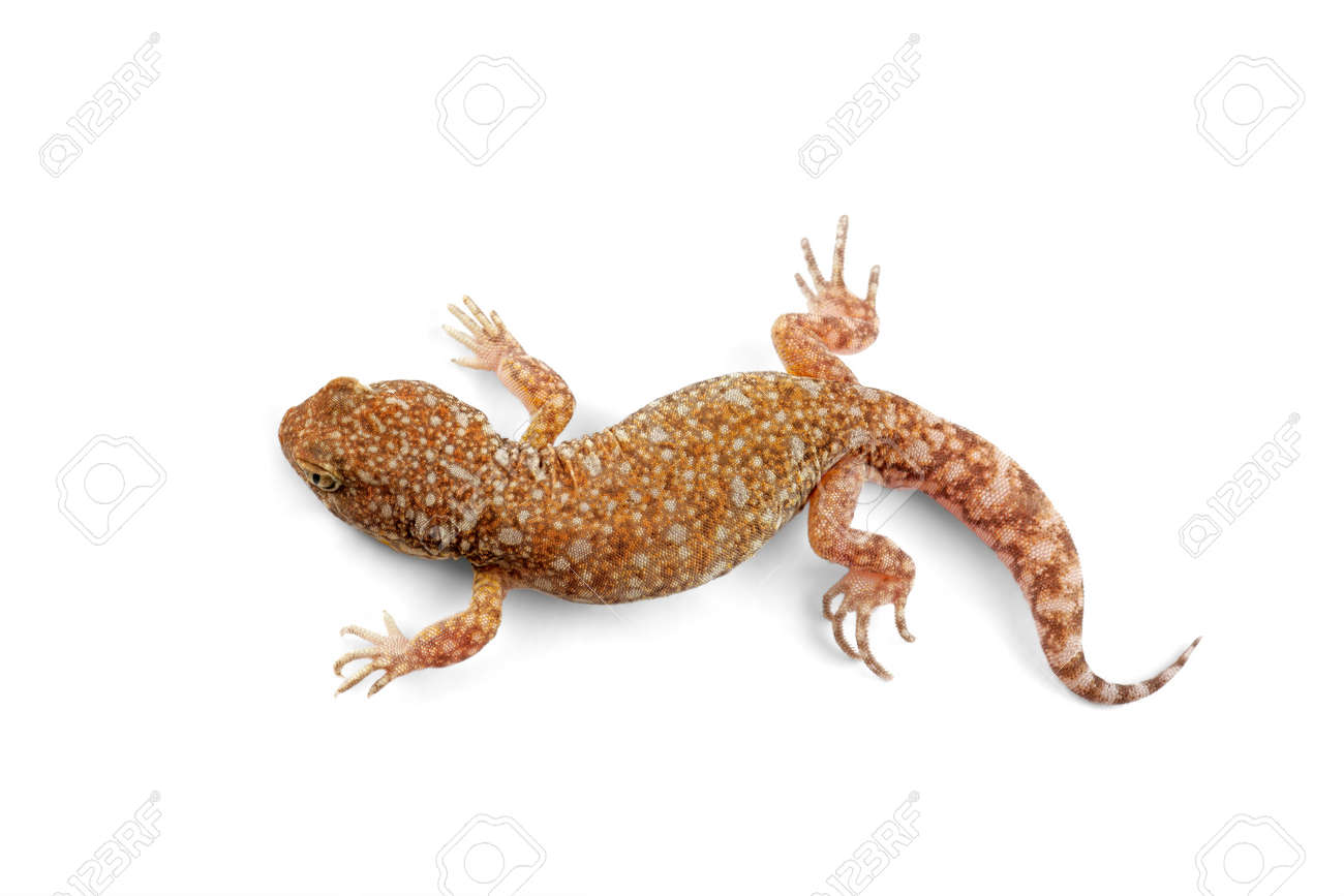 An African common barking gecko (Ptenopus garrulus) on white Stock Photo - 4118780