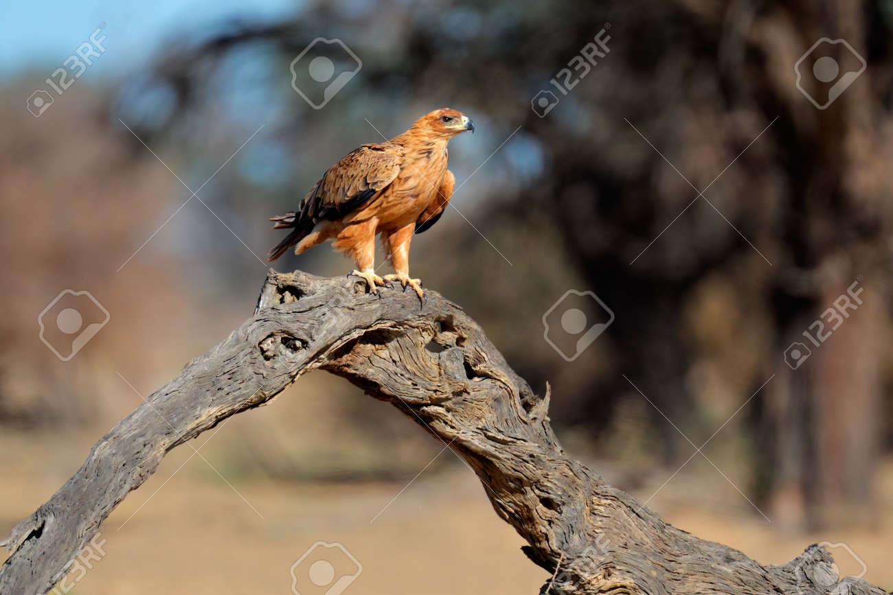 Tawny eagle (Aquila rapax) perched on a branch, Kalahari, South Africa Stock Photo - 5216698