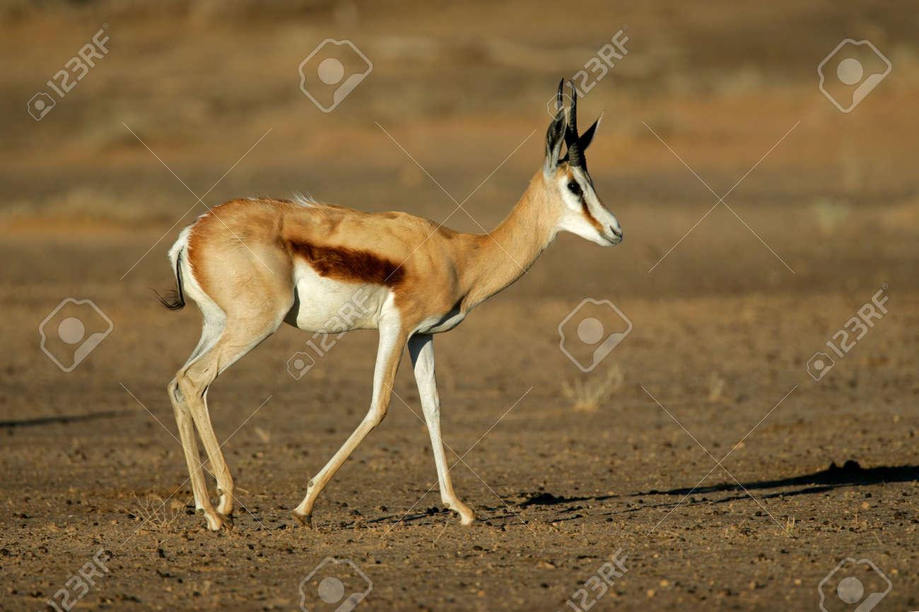 A springbok antelope (Antidorcas marsupialis), Kalahari desert, South Africa Stock Photo - 6945206