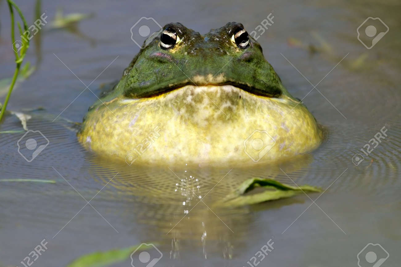 male african giant bullfrog pyxicephalus adspersus calling