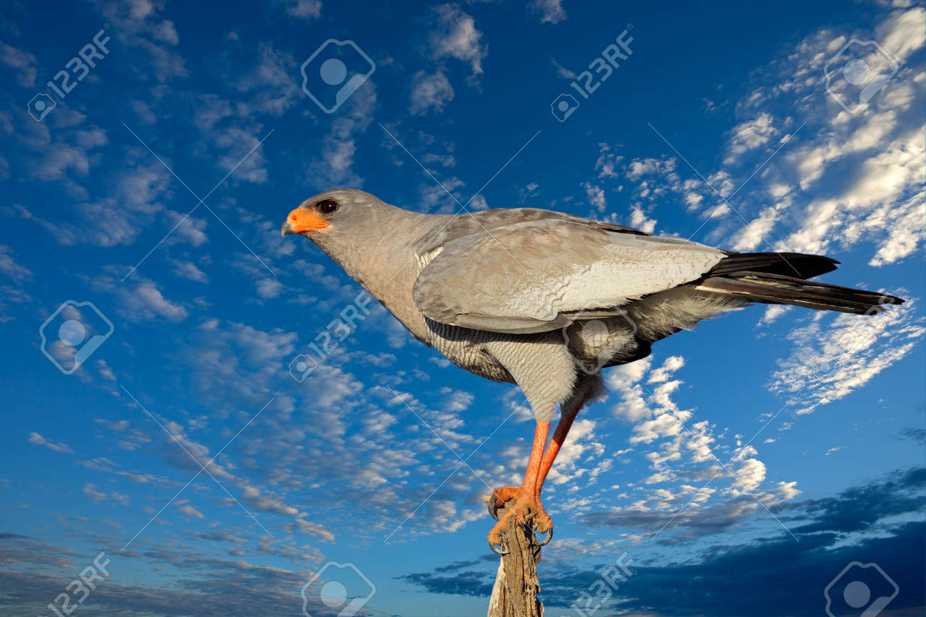 Pale Chanting Goshawk Melierax Canorus Against A Blue Sky With Clouds South Africa
