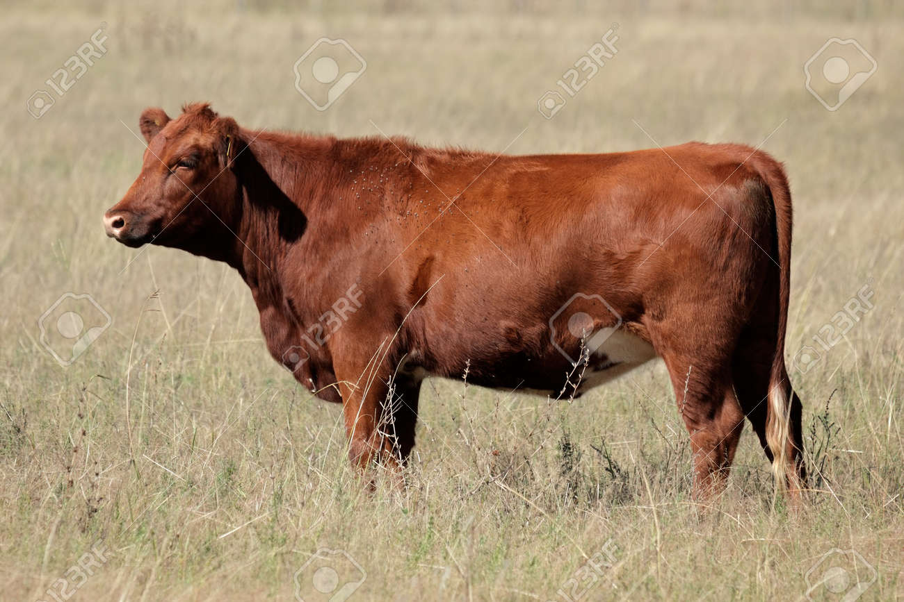 Red angus cow on pasture Stock Photo - 10231451
