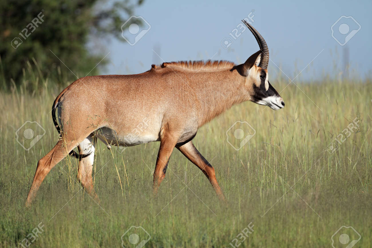 A a rare roan antelope (Hippotragus equinus), South Africa Stock Photo - 10689635