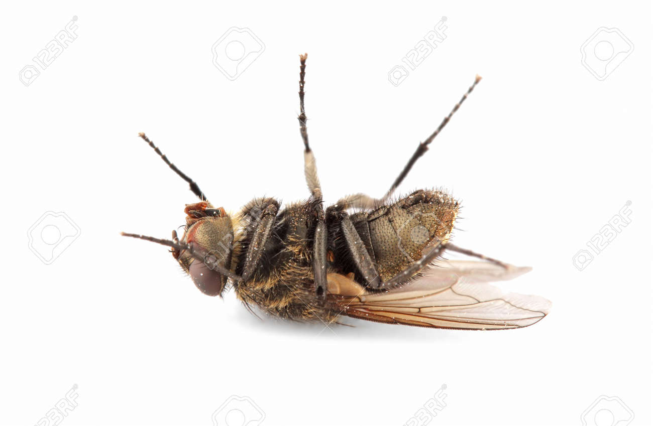 A dead house fly on white Stock Photo - 11508649