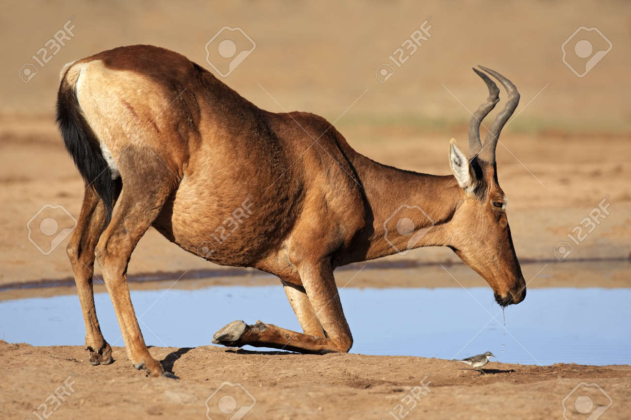 Red hartebeest (Alcelaphus buselaphus) drinking water, South Africa Stock Photo - 11508651