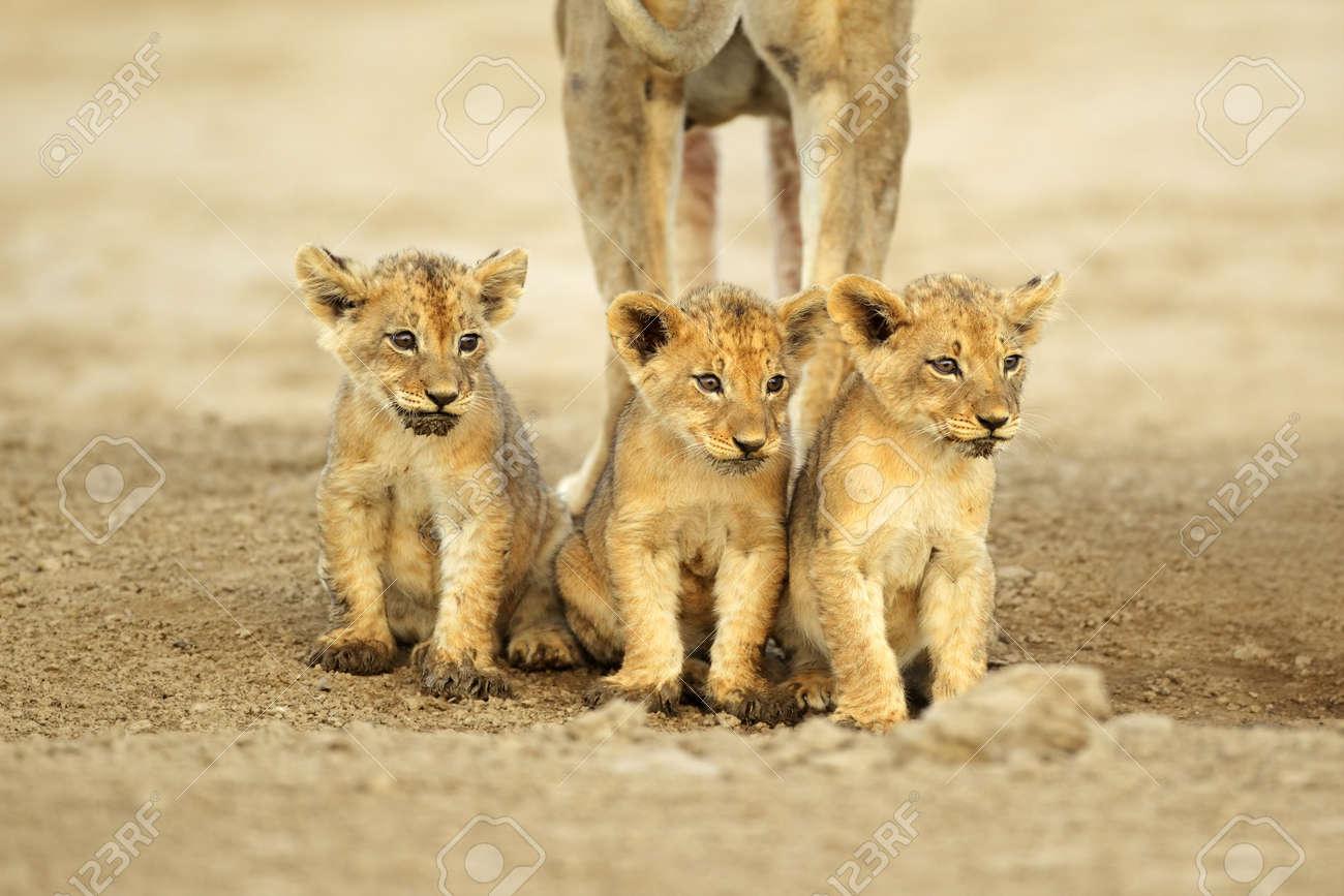 Three cute lions cubs (Panthera leo) sitting in a row, Kalahari desert, South Africa - 11876250